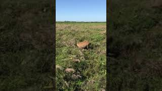 Ciervo de los pantanos- Esteros del Ibera