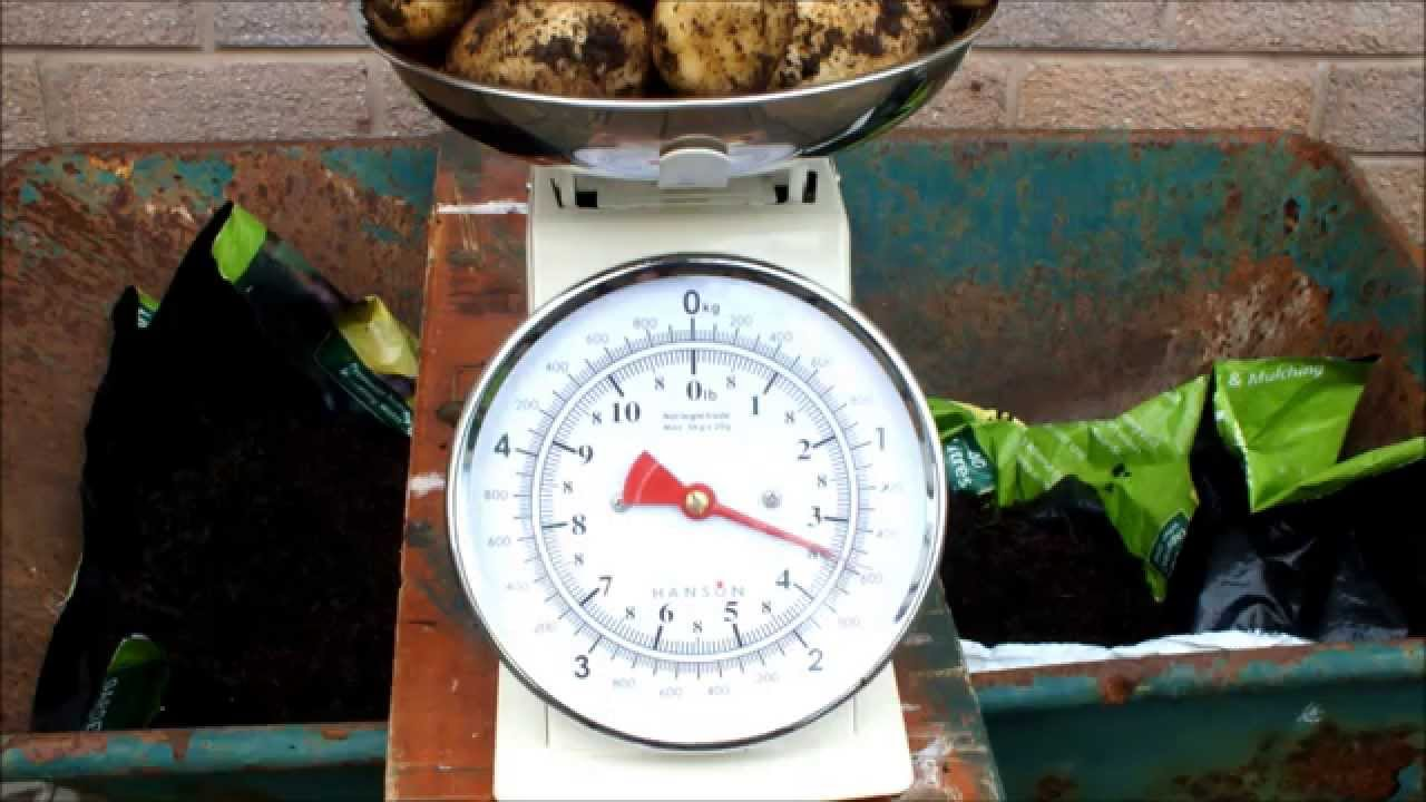 how to grow potatoes in pots record potato reveal from a small