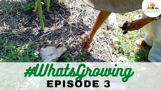 #WhatsGrowing | Episode 3 [24.05.2020] #virtualtour #aanandaatour