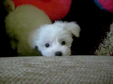 bichon maltese puppies bichon maltese puppy sofy youtube 6248