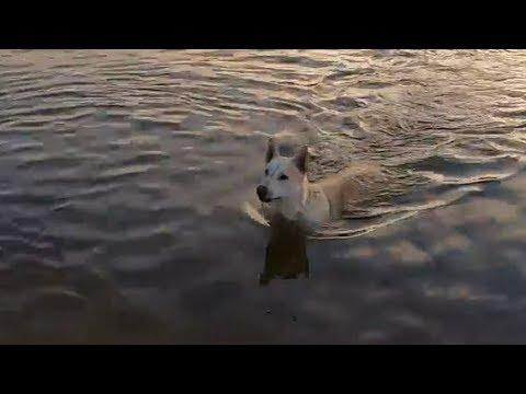 Turquoise Lake sunset Water Retrieving with Belgian Malinois husky mix