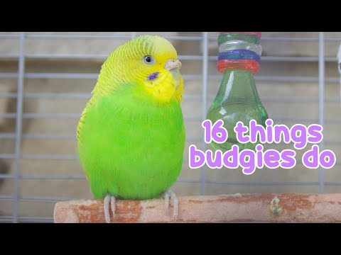 16 Things That Budgies Do  Budgie Information