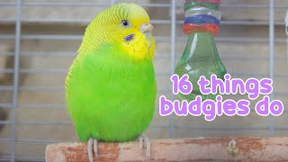 16 Things That Budgies Do | Budgie Information