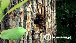 Бортевой мёд из Республики Башкортостан