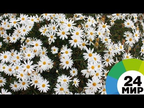 И память, и польза: в Цицернакаберде прошел традиционный сбор цветов - МИР 24