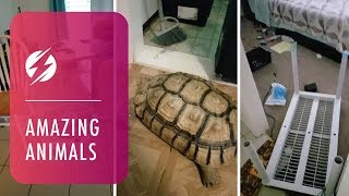 Super-strong Tortoise Destroys Home While Owners Are Out