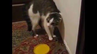 словесный понос кота водевильный котэ