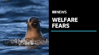 Documents show Tasmanian department gave salmon giant permit to keep seals in fish pens | ABC News