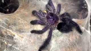 видео avicularia purpurea