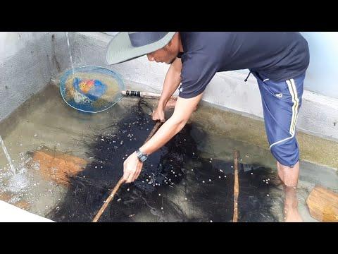 Budidaya Ikan Air Tawar   Ternyata semudah Ini proses pemijahan ikan lele