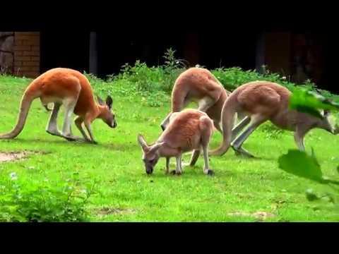 Wild animal - Kangaroo video