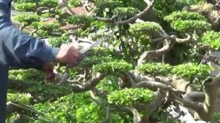 Tạo 350  bông cho cây long cuốn thủy( cây ở giai đoạn  đã hoàn thiên)