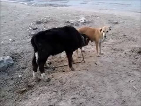 Baby Cow Drinking Milk Of A Dog Most Popular Video Youtube
