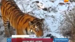 Козел Тимур и тигр Амур продолжают удивлять сотрудников приморского зоопарка