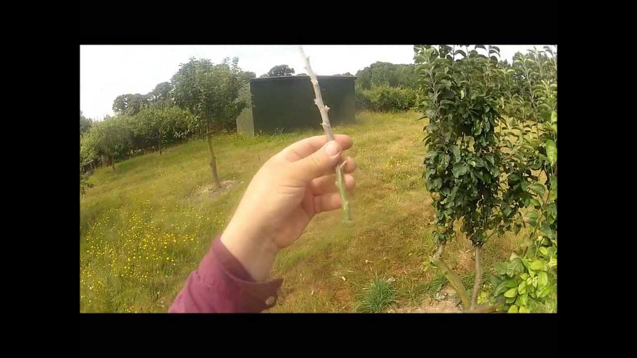 Chip budding an apple tree july 2013 youtube buycottarizona