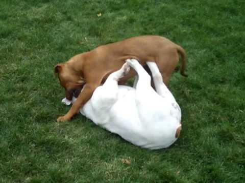 pitbulls vs bulldogs