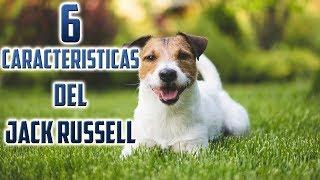 Jack Russell Terrier Características – Top 6 Características del perro Jack Russell