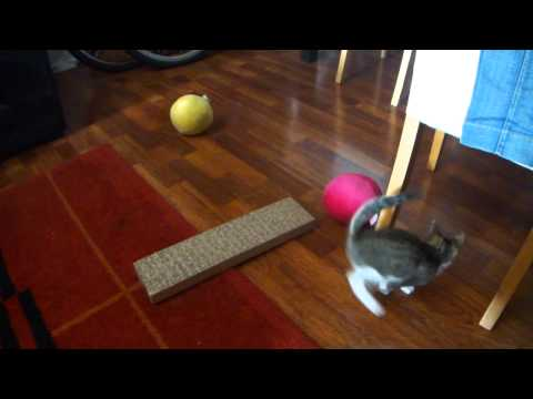 Messi The Cat playing with balls