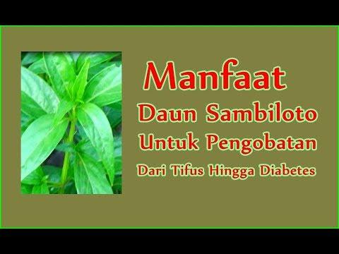 khasiat daun sambiloto untuk diabetes