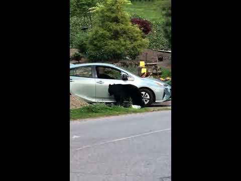 Man Finds Bear In Car Doovi