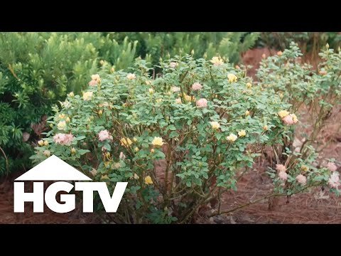How to Grow Beautiful Roses - 동영상