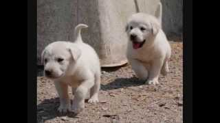 Все породы собак.Акбаш (Akbash)