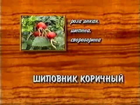 Купить золотой корень в Москве, стоимость