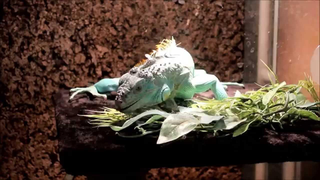 Blue Axanthic Iguana Enclosure Update