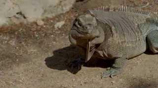 Rare Anegada Iguana Participates in Training at San Diego Zoo