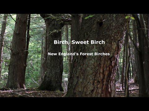 Birch, Sweet Birch: New England's Forest Birches