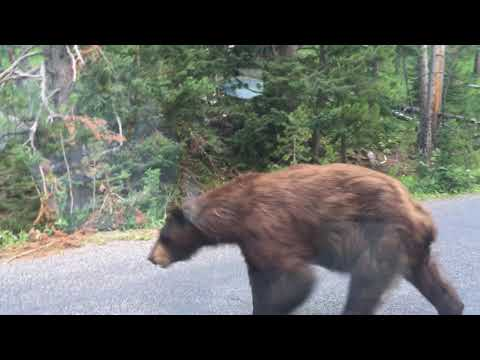 Close Encounter with a Grizzly Bear in Yellowstone National Park