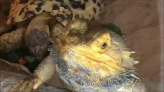 head banging lizard photo bombs tortoise!!!    ORIGINAL    MUST WATCH