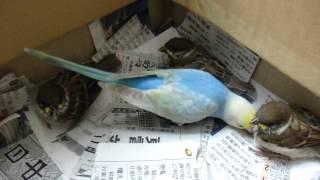 生後2ヶ月のインコ雛が巣から落ちたスズメの雛の世話をしています。