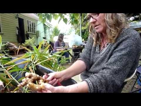 What we do with Ginger After Harvest