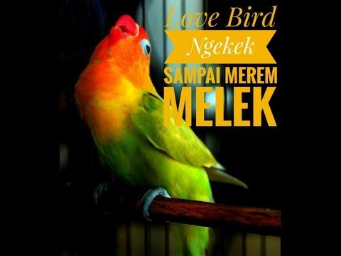 Love Bird Ngekek Sampai Merem Melek