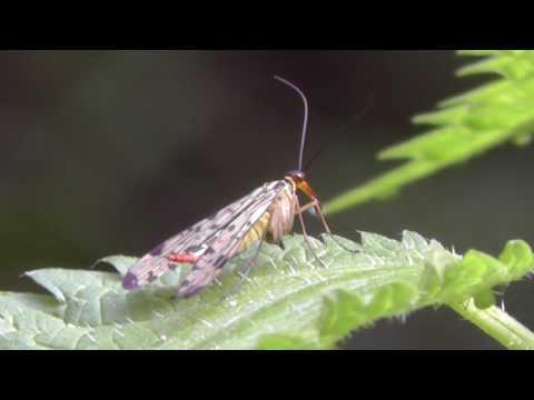 2016-05-17 Skorpionsfliege, Scorpion fly, Panorpa communis, Bodenheim