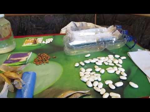Выращиваем стручковую спаржевую фасоль, такую полезную и
