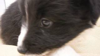 生年月日:2017/3/5 性別:メス ♀ カラー:ブラック&ホワイト.