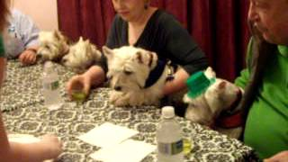 Westie/Scottie St Pats Party - Video 1