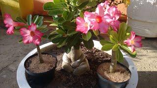 Rosa do deserto: como podar e fazer mudas de um jeito muito fácil
