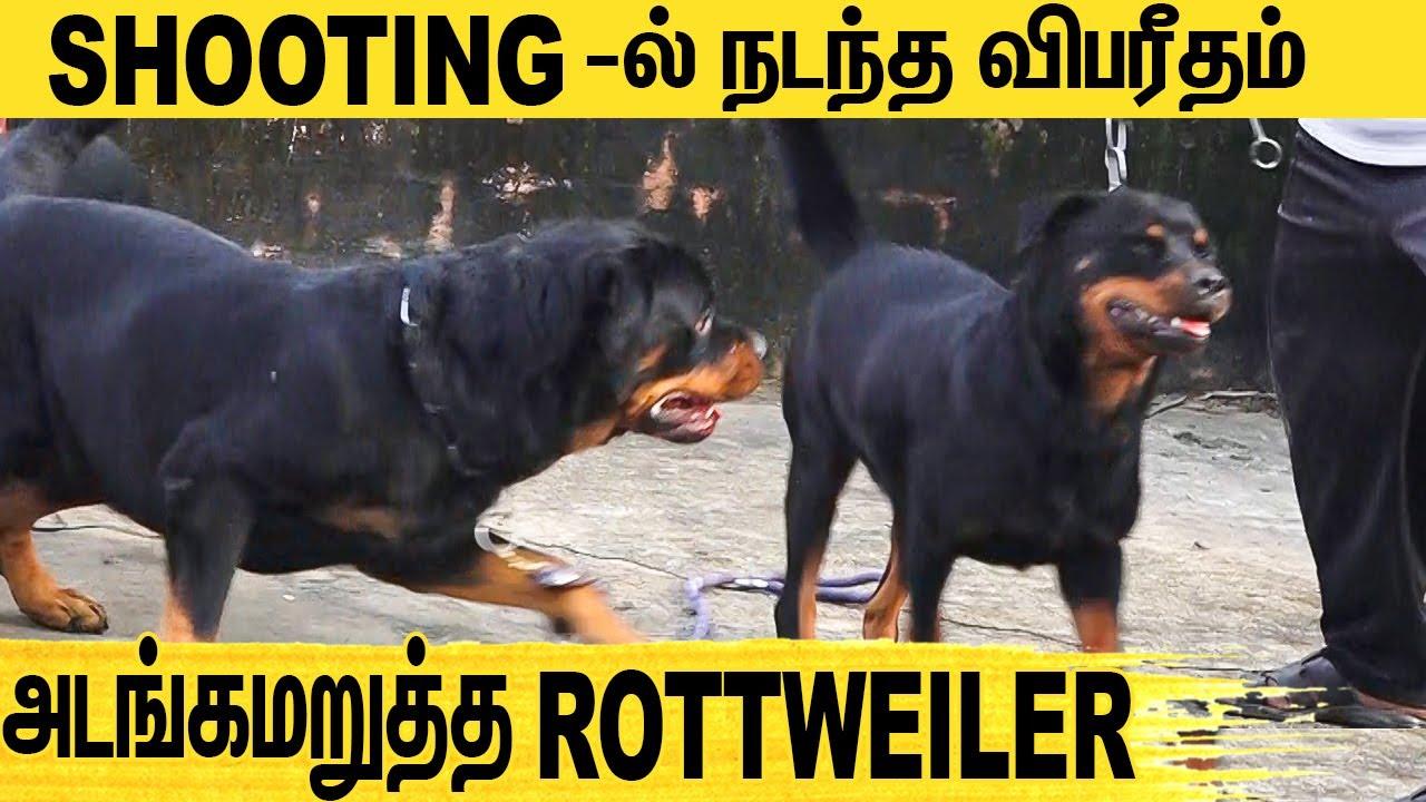 அதி பயங்கர ராட்சஸ பலம் கொண்ட ROTWILLER ! : All About Dogs EPISODE - 18 | #DOG