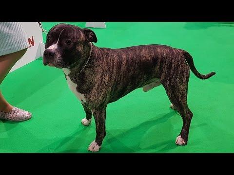 American Staffordshire Terrier. Part 1 of 3. ZooExpo 2016 FCI CACIB Dog Show