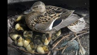 Как сделать гнездо для подсадной утки (Будни охотника и рыбака)