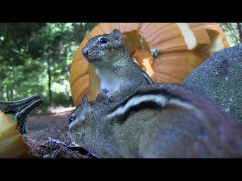 Pumpkin Feeder #1 (2014) Chipmunks and squirrels