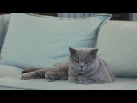 Royal Canin - British Shorthair - Feline Breed Nutrition