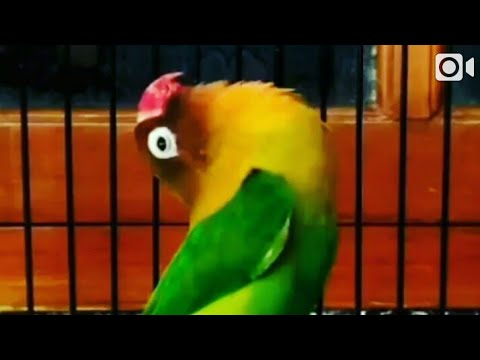 Lovebird ngekek gaya santai fighter