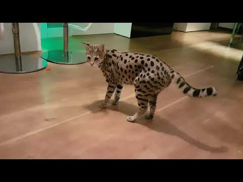 How it's like to have Savannah cats as a pet!  #Running #jumping #playing #fetch