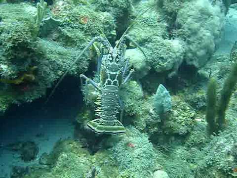 Giant lobster Statia - Grote kreeft Sint Eustatius 2008-5 065