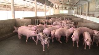 Tin Tức 24h Mới Nhất: Giá thịt lợn giảm mạnh, người nông dân ĐBSCL điêu đứng