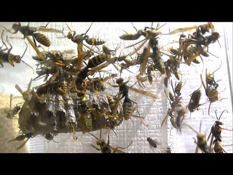 アシナガバチの巣が台風で大混乱!! panic wasp nest